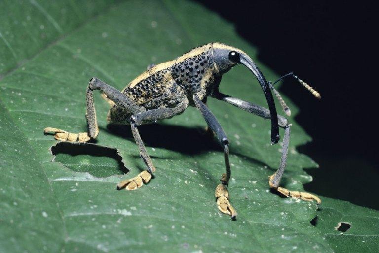 insecta nasoasa